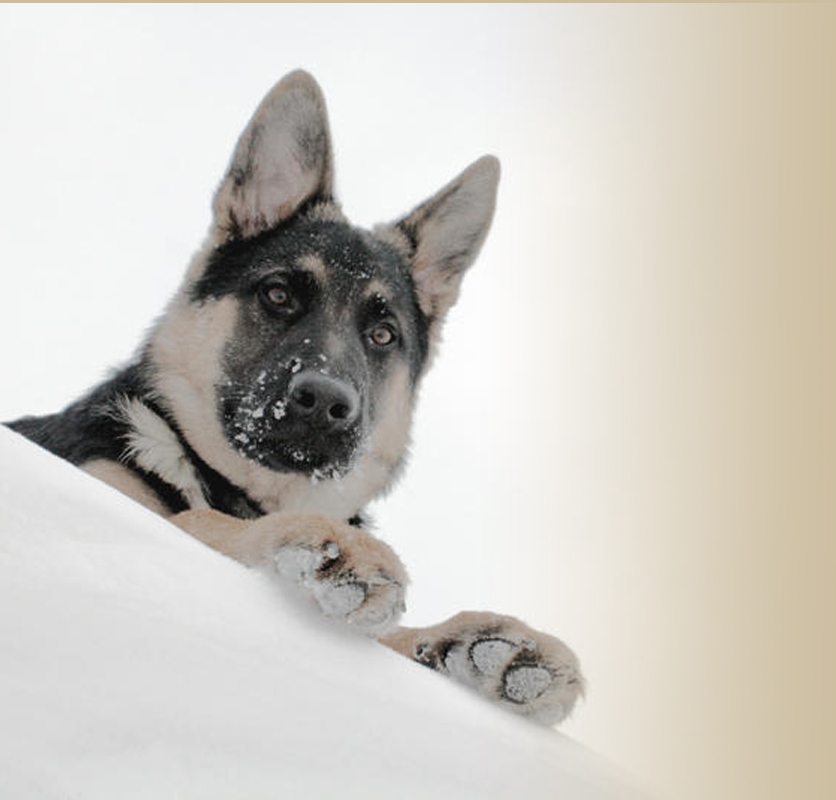 Grunberg german shepherd breeders in Asheville North Carolina